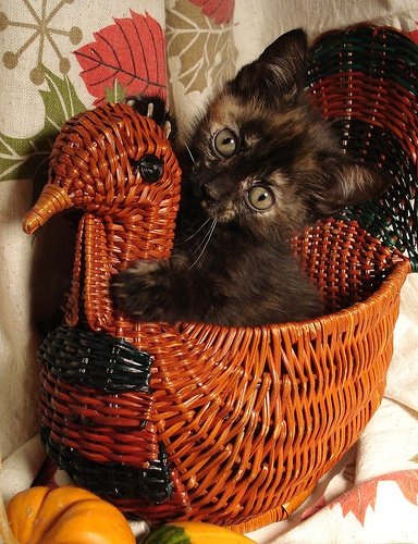 Cat in a turkey basket
